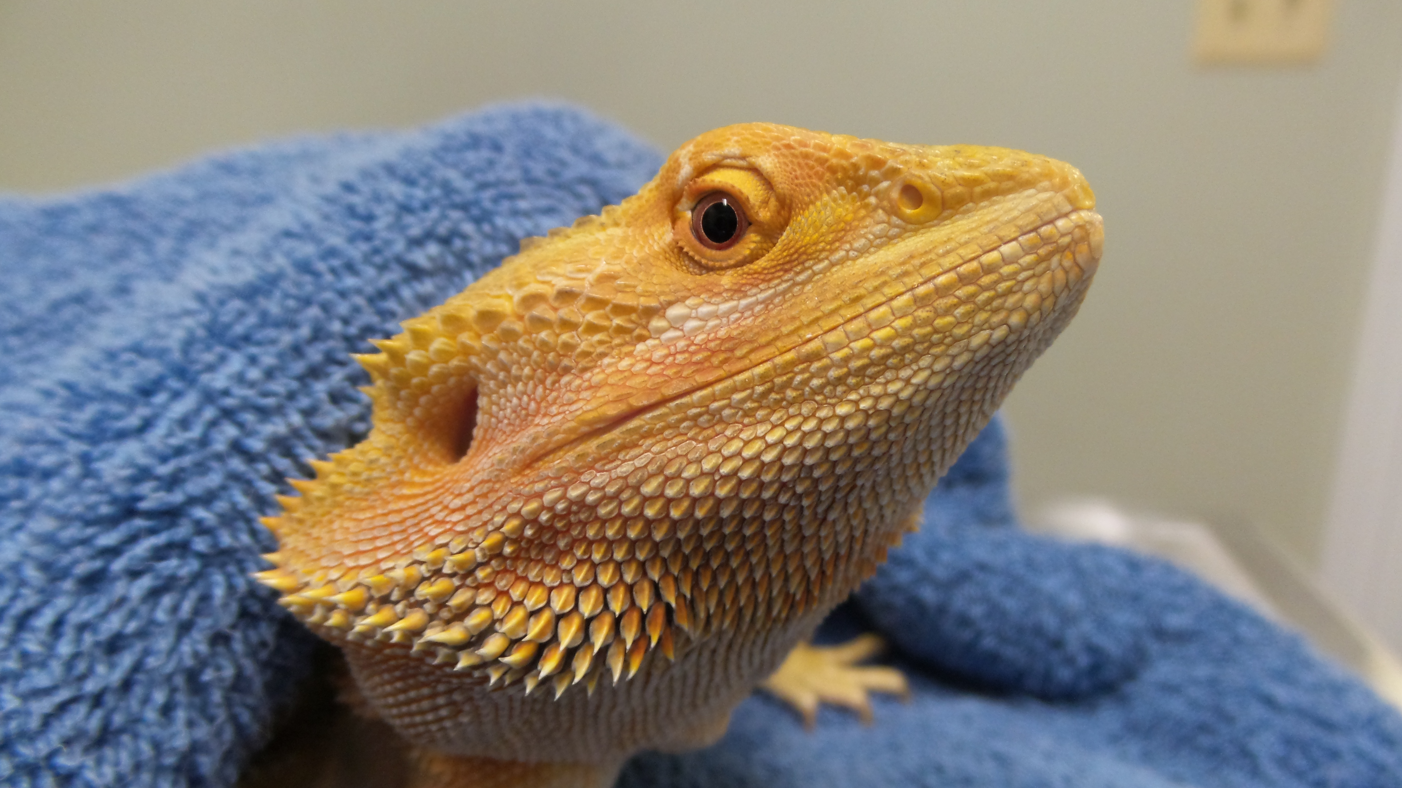 Bearded Dragon Husbandry and Preventative Healthcare ...