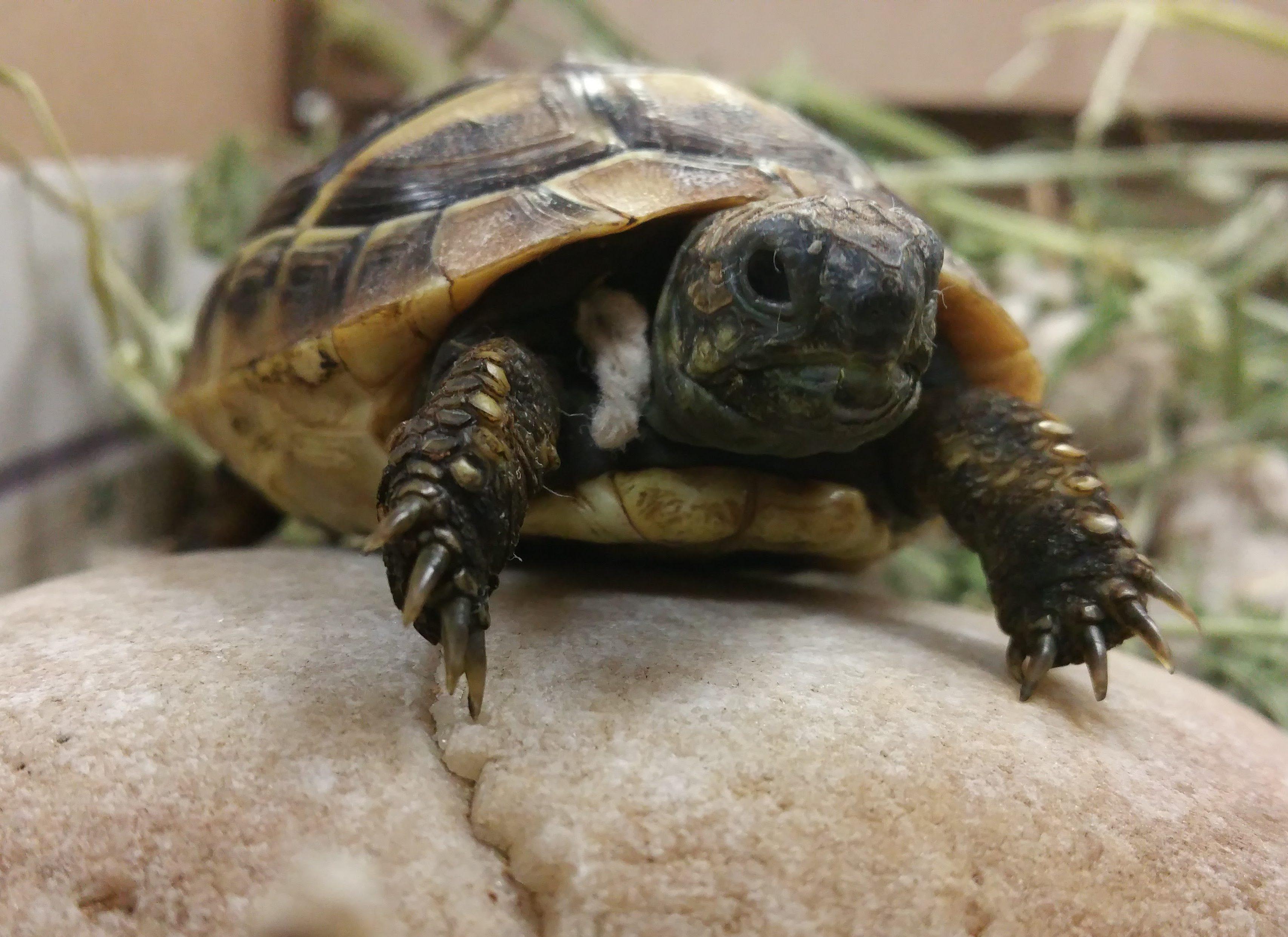 tortoise husbandry and preventative healthcare   stahl